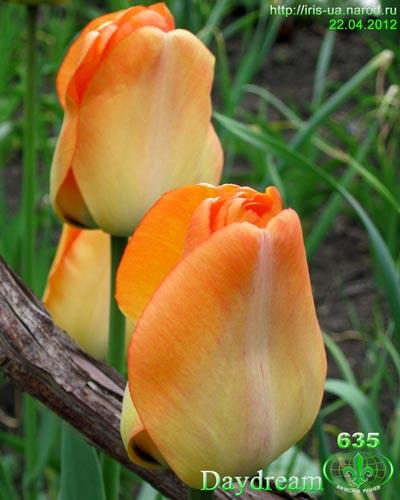 "Заказ садовых растений на "" Сотке"".( Тюльпаны) Image003"