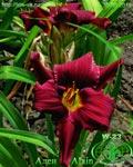 "Заказ садовых растений на "" Сотке"".( Тюльпаны) Image016"